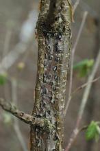 Figure 10. Eastern filbert blight is a problem on older filbert varieties.