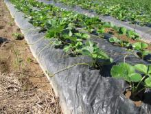 Strawberry plants in row of hills