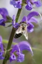 Bee on salvia