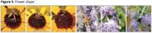 Short-tongued bees on Black-eyed Susan (1-3) and long-tongued bees on Russian sage (3-6)