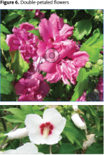 Single-petaled varieties of a flower like Rose of Sharon (Hibiscus syriacus, bottom photo) offer nectar and pollen resources that double-petaled varieties (top) do not.