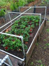 Strawberries planted in a raised bed with netting to protect from pests.