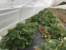 Low tunnel covering strawberry plants