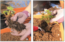 Planting a bare-root strawberry plant (A) in a container at the proper depth (B).