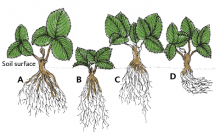 Proper planting depth (A) and improper depths (B, C, D). In B, the crown is too deep; in C, the crown is too high. In D, the roots are bent and remain near the surface.