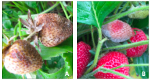 gray mold infecting green fruit (left) and ripe fruit (right)
