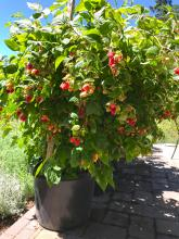 'Cascade Delight' in a container