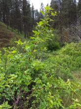 Salmonberry in forest