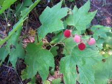 Red and pink thimbleberries