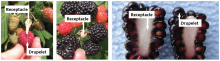 Figure 1A, left. The receptacle, or plug, stays on the plant when you pick a raspberry. Figure 1B, center. The receptacle of a black raspberry also stays on the plant when you pick it. Figure 1C, right. In blackberry, the receptacle is part of the fruit.
