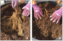 hands covering bare roots with soil
