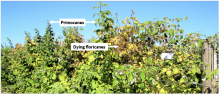 Summer-bearing red raspberry pruning. Dying floricanes are yellow, whereas new primocanes are green.