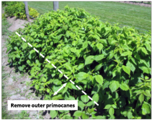Trim outer primocanes so row measures 12–18 inches wide
