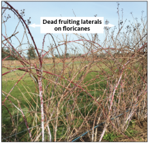 Dead fruiting laterals on floricanes