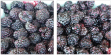Fruit from healthy plant, left, and infected plant, right (smaller)