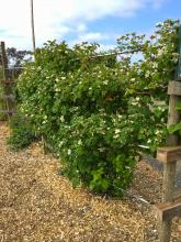 A double T-trellis supports semierect blackberry