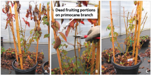 rect, everbearing blackberry growing in a container for a double crop. (A): Before pruning the primocane. (B). Removing dead branch tips. (C): After pruning.