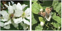 honey bee on flower, left, and painted lady butterfly, right