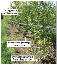 Primocanes growing from crown and early growth of floricans