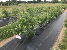 Black weed mat covering row of blueberry bushes
