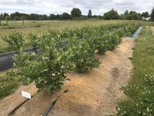 Blueberry plants growing in a row of mounded soil mulched with sawdust