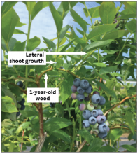 Lateral shoots and heavy berries