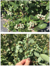 Short laterals and small berries