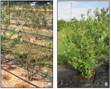 Plant on left (A) is in shock symptom stage. Regrowth in same year (B).