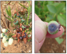 Botrytis on flowers (A) and green fruit rot at wound from hail damage (B).