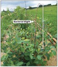 Blight at top of cane or whip