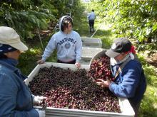 Photo: Lynn E. Long, © Oregon State University Figure 2. Workers harvesting cherries in Oregon.