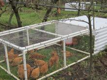 Chickens enclosed in PVC frame with wire walls