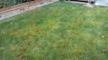 Small brown patches on a leafy lawn
