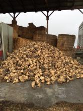 A pile of sugar beets