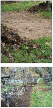 Top photo shows weeds; bottom photo shows row of trees without weeds
