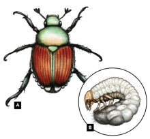Adult beetle (A, left) and larva (B, in circle)