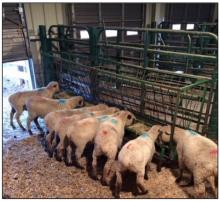 Sheep feeding at trough in barn