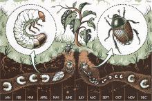 Ciclo de vida general del escarabajo japonés: etapas de huevo, larva y adulto