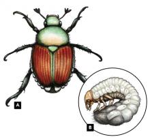 Escarabajo japonés adulto Popillia japonica (A), y larva (B)