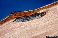 Bronze birch borer pupa