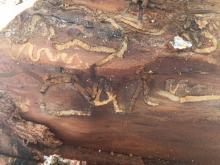 Figure 4. Bronze birch borer damage caused below the tree bark