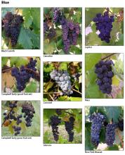 Photographs of cultivars, by color, page 2.