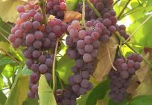 'Reliance' grapes