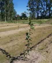 Training baby kiwi plant