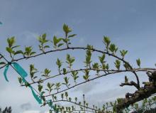 Spring growth on hardy kiwi