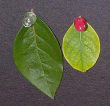 Left: Healthy blueberry leaf. Right: Iron-deficient blueberry leaf. Note the pale green leaf area and contrasting green veins on the iron-deficient leaf.