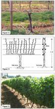 Figure 12. Vertical hedgerow training, cane pruned, dormant. Figure 13. Two-cane Kniffen. Figure 14. Vertical hedgerow, cane pruned, growing season.