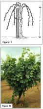 Figure 15. A head‑trained vine. Figure 16. Head-trained vine.