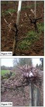"Figure 17A. Correctly pruned, head-trained vineyard. Figure 17B. Incorrectly ""hedged"" vine."