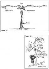 Figure 1A. Dormant grapevine after pruning. Figure 1B. Shoot.